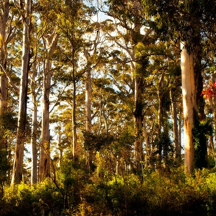 Northcliffe_Jarra_Forest_01 - OLYMPUS DIGITAL CAMERA