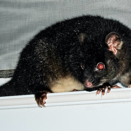 The Visitor - A possum makes itself at home on a caravan.
