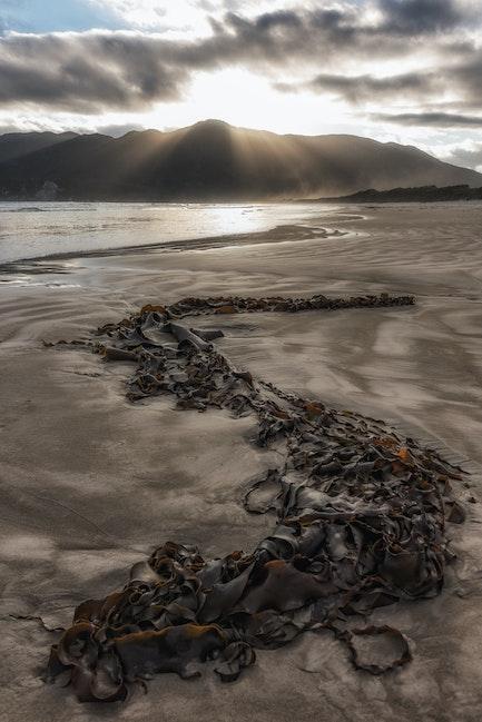 seaweed cox bight - kelp sunbaking