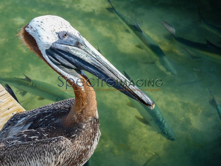 Robbie's Brown Pelican-1 - Robbie's Brown Pelican-1