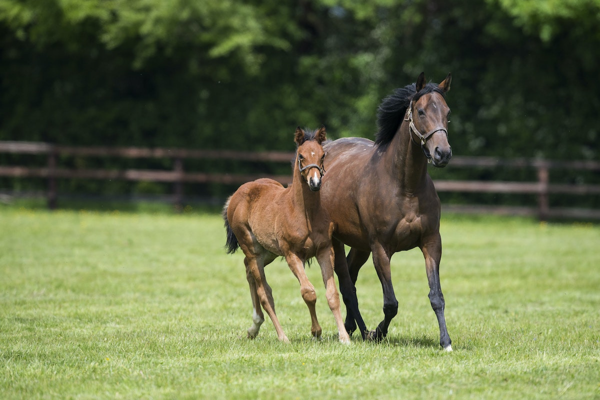 Zarkava-N17-05232017-6357 - ZARKAVA (Zamindar - Zarkasha) photographed with her N17 filly foal by SIYOUNI (DOB 21 March 2017).  Photo by Bronwen Healy....