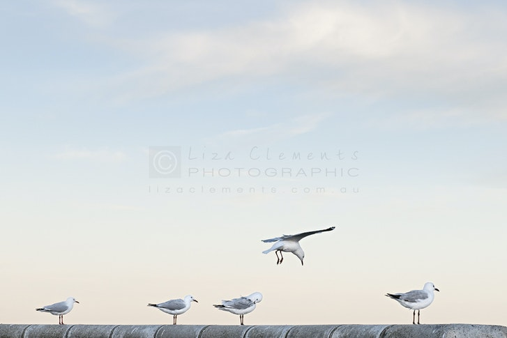 Seagulls at Half Moon© - Seagulls at Half Moon, 2013