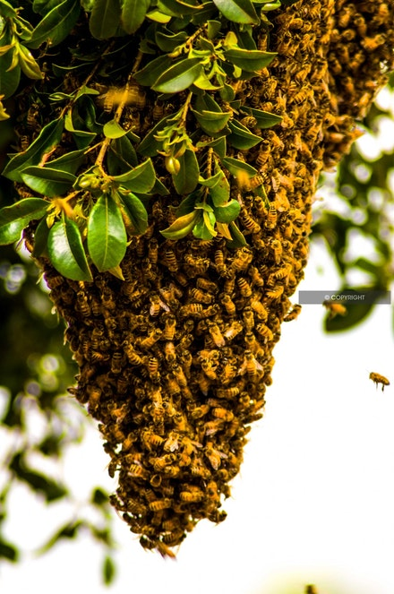 4 - Swarming bees