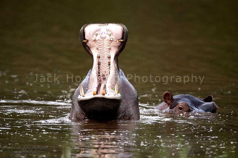 hippo_yawning_teeth_river