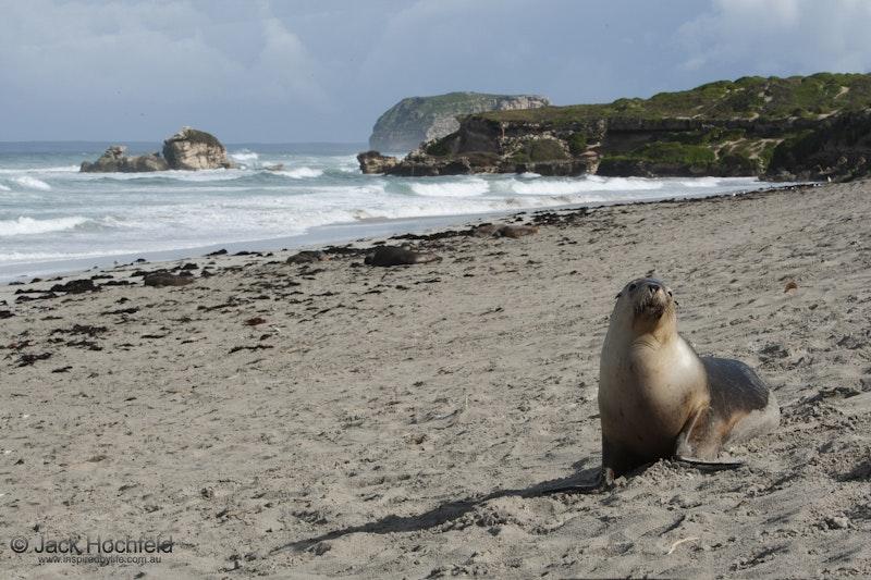 Australian sealions, Seal Bay, Kangaroo Island - Australian sealions, Seal Bay, Kangaroo Island