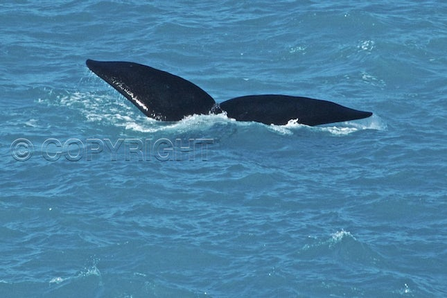 Southern right tail - Head of Bight NP