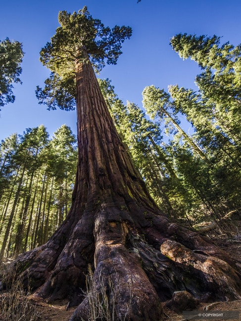 Forest Foundations - Giant sequoia tree butress root and forest canopy in Mariposa Grove,Yosemite National Park, California