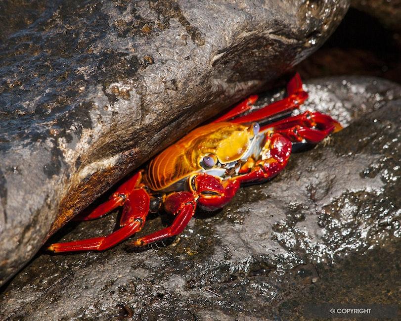 Sally Lightfoot - Sally lightfoot shore crab,Grapsus grapsus, Galapagos National Park, Ecuador