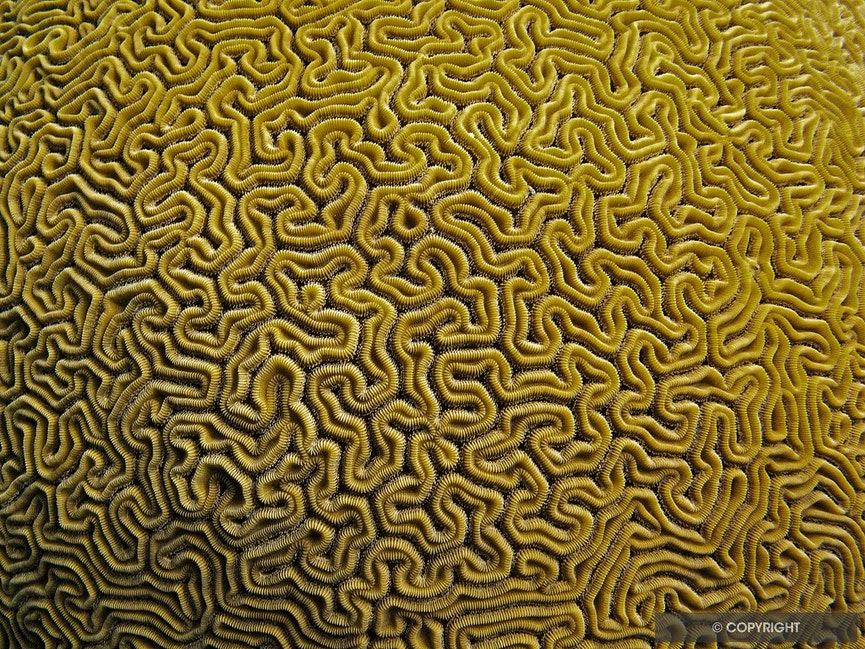 Golden Labyrinth - Brain coral (Labyrinthiformes),	Virgin Islands National Park, St. John, U. S. Virgin Islands