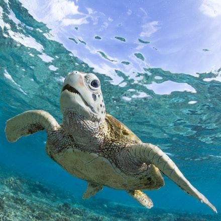 Turtle teeth - A friendly green sea turtle enjoys the underwater world of the Lady Elliot Island lagoon, Southern Great Barrier Reef, Australia.