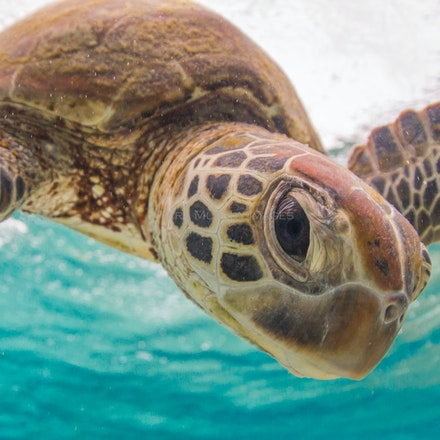 All about the eyes - A green sea turtle comes in close for some eye contact, Lady Elliot Island, Australia.