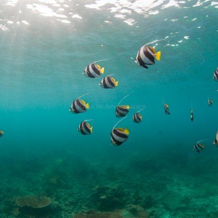 Bannerfish - Bannerfish swim in the Maldives.