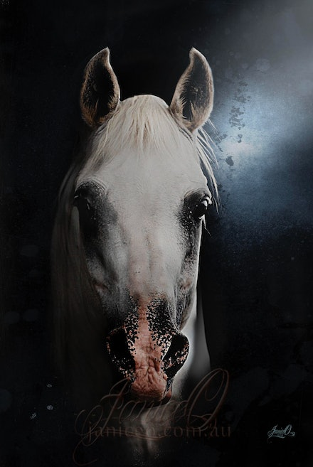 The White Stallion - Head shot of the charismatic white, purebred Arabian stallion, Silver Wind Van Nina. A multi champion and Supreme Champion at halter...
