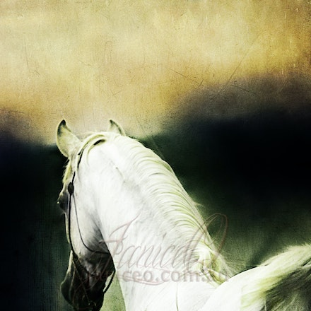 New Year - Purebred Arabian white stallion, Silver Wind Van Nina. Digital painting based on a photo by Sharon Meyers Photography.