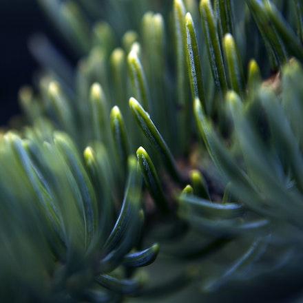 Spruce Needle Macro Cool