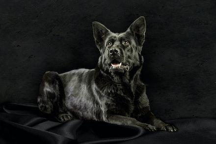 Leafield Asa - Black Working Line German Shepherd bitch bred by Leafield German Shepherd Dogs.  Sire: Vonammerberg Drago. Dam: Titoki Kal Yani (Heidi)