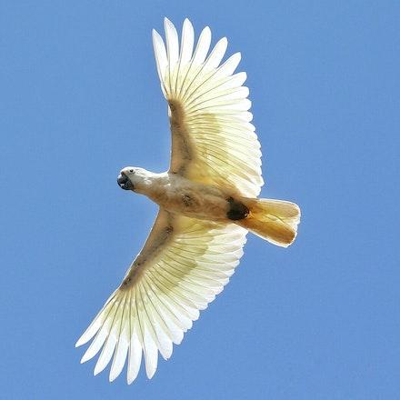 Sulphur- crested cockatoo, Cacatua galerita, birmba (kuku-Yalanji) - Sulphur- crested cockatoo, Cacatua galerita, birmba (kuku-Yalanji)