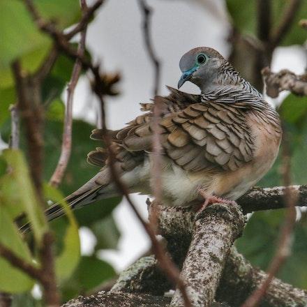 Peaceful dove , Geopelia placida - (press for more images) Peaceful dove , Geopelia placida