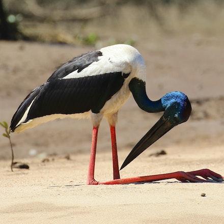 Black Necked Stork (Jabiru), Ephippiorhynchus asiaticus - Black Necked Stork (Jabiru), Ephippiorhynchus asiaticus