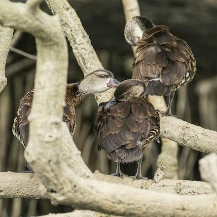 Spotted whistling duck , Dendrocygna guttata - Spotted whistling duck , Dendrocygna guttata