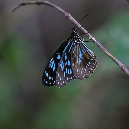 Blue Tiger , Tirumala hamata - Blue Tiger , Tirumala hamata