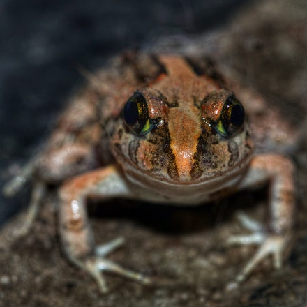 Ornate Burrowing Frog  Platyplectrum ornatum - Platyplectrum ornatum, Ornate burrowing frog