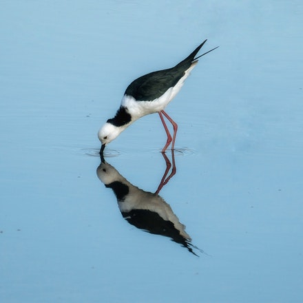 Black-winged  Stilt , Himantopus himantopus - Black-winged  Stilt , Himantopus himantopus