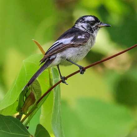 White-eared monarch, Carterornis leucotis - (press for more images)